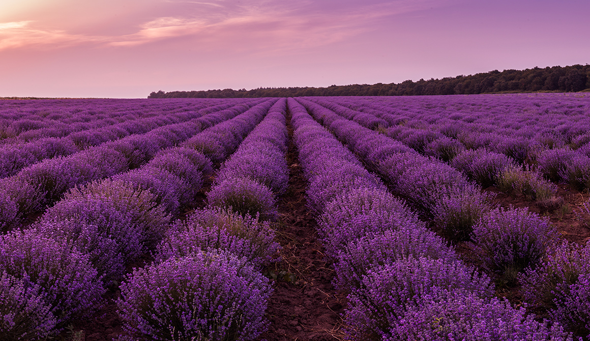 Violet Couleur Violette